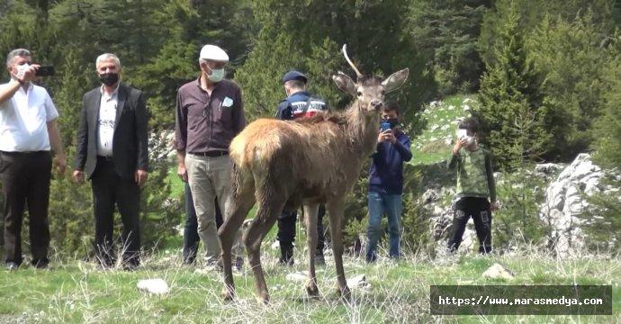 KIZIL GEYİKLER KAHRAMANMARAŞ'A GELDİ